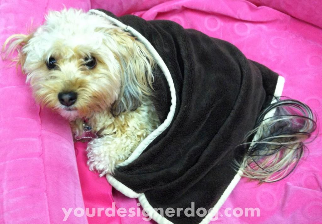 dogs, designer dogs, yorkipoo, yorkie poo, blanket
