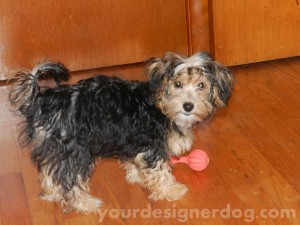 dogs, designer dogs, yorkipoo, haircut, grooming, puppy