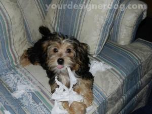 dogs, designer dogs, yorkipoo, pets, tissue, mischief, confetti