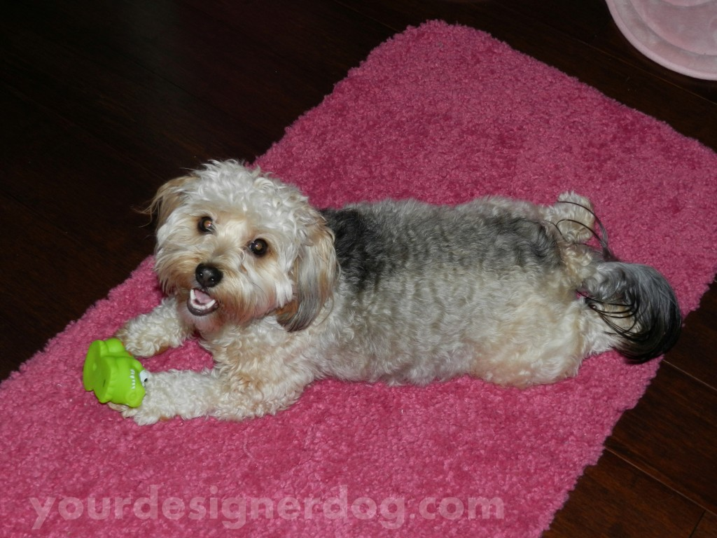 dogs, designer dogs, yorkipoo, yorkie poo, dog smiling, alligator