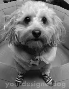 dogs, designer dogs, yorkipoo, socks, black and white, black and white dog dress, socks, black and white socks