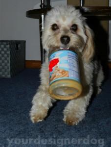 dogs, designer dogs, yorkipoo, peanut butter