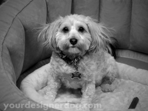 dogs, designer dogs, yorkipoo, pets, photography, black and white