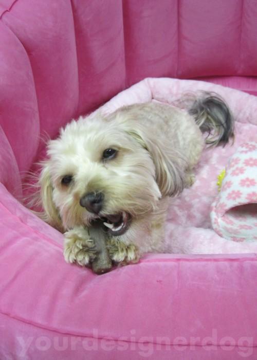 dogs, designer dogs, yorkipoo, yorkie poo, cute, bone, tasty, chew, hard work, dogs at work