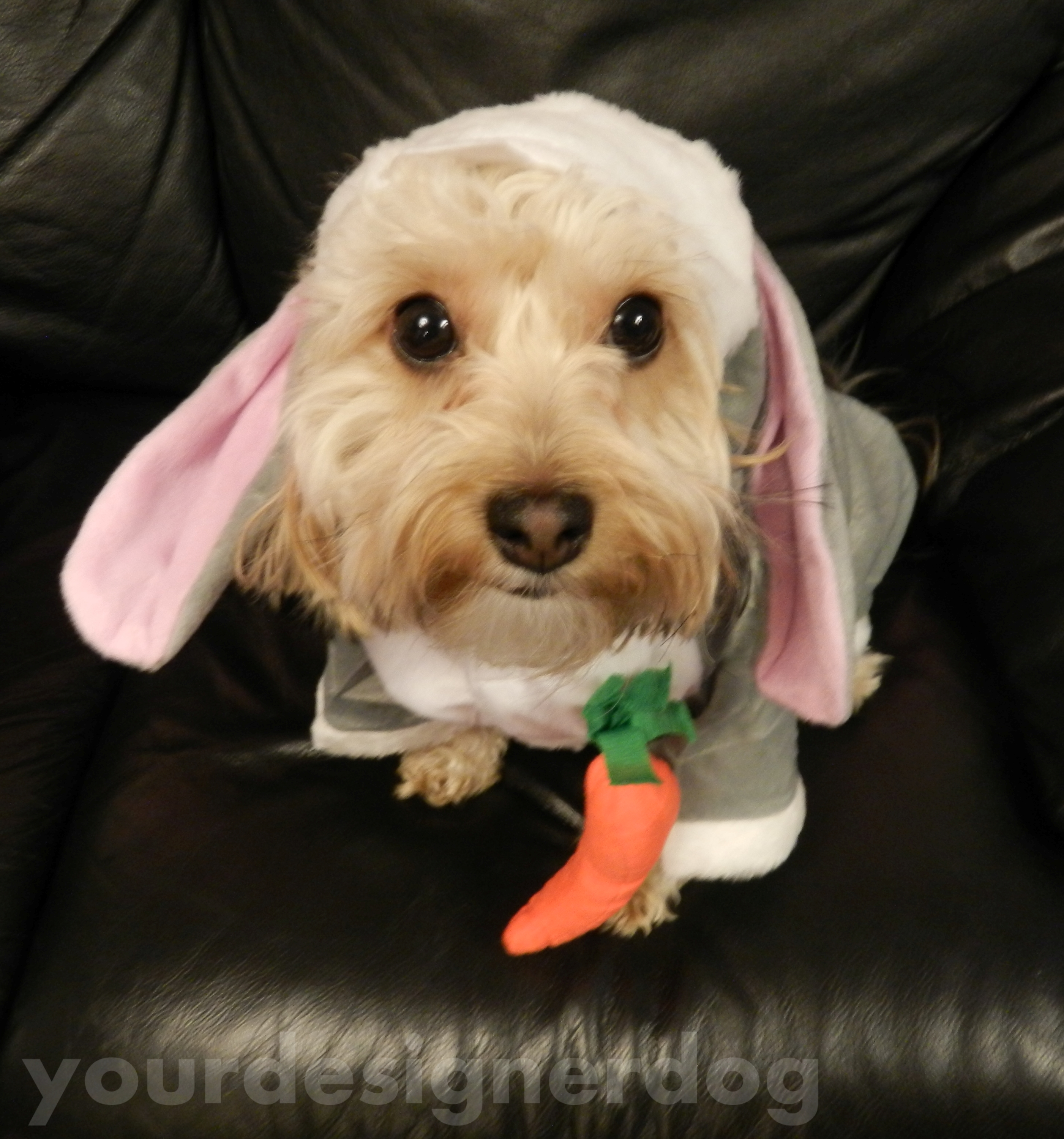 dogs, designer dogs, pets, yorkipoo, yorkie poo, carrot, bunny, rabbit, cute, easter