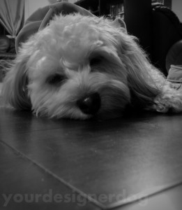 dogs, designer dogs, yorkipoo, yorkie poo, cute, black and white photgraphy