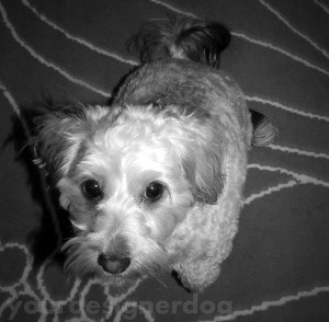 dogs, designer dogs, yorkipoo, yorkie poo, cute, black and white photography