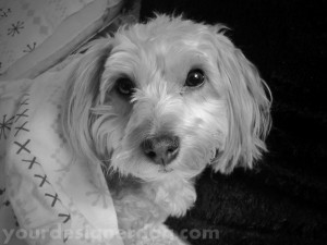 dogs, designer dogs, yorkipoo, yorkie poo, cute, sleepy puppy, black and white photography