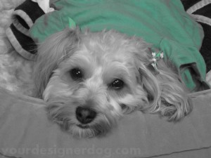 dogs, designer dogs, yorkipoo, yorkie poo, cute, pets, blsck and white photography
