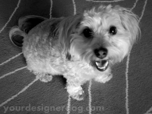 dogs, designer dogs, yorkipoo, yorkie poo, black and white photography, dog smiling