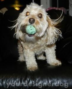 dogs, designer dogs, yorkipoo, yorkie poo, catch