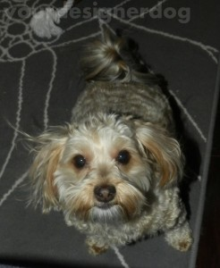 dogs, designer dogs, yorkipoo, cute dog picture, yorkie poo, pets