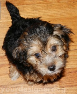 dogs, designer dogs, pets, yorkipoo, yorkie poo, cute dog pictures