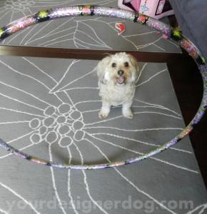 dogs, designer dogs, yorkipoo, pets, yorkie poo, exercise, hula hoop
