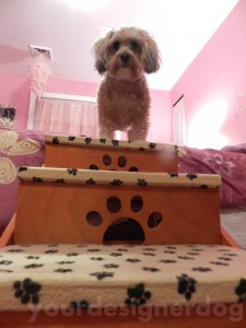 dogs, designer dogs, yorkipoo, yorkie poo, stairs, dog stairs, jumping, dogs jumping