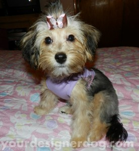 dogs, designer dogs, yorkipoo, yorkie poo, puppy, cute puppy pictures