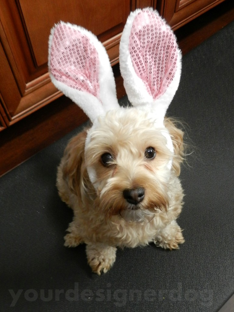 dogs, designer dogs, yorkipoo, yorkie poo, bunny ears, rabbit, easter