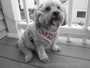 dogs, designer dogs, yorkipoo, yorkie poo, black and white photography, pink accent