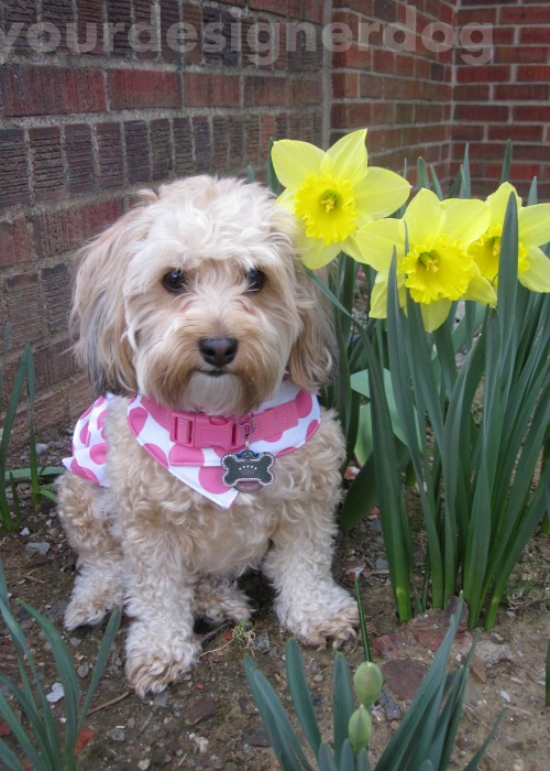 dogs, designer dogs, yorkipoo, yorkie poo, flowers, daffodils, dogs with flowers