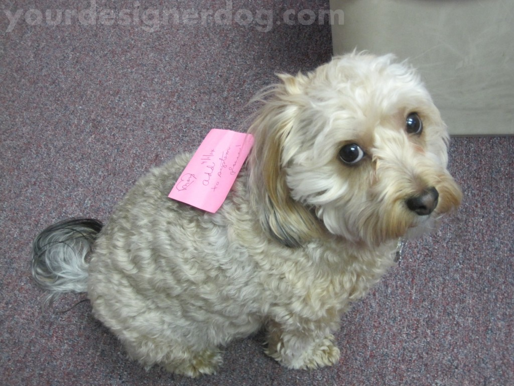 dogs, designer dogs, yorkipoo, yorkie poo, dogs at work, sticky note