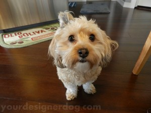 dogs, designer dogs, yorkipoo, yorkie poo