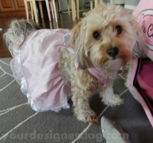 dogs, designer dogs, yorkipoo, yorkie poo, dog dress