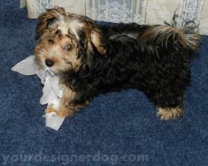 dogs, designer dogs, yorkipoo, yorkie poo, tissue, mischief, puppy