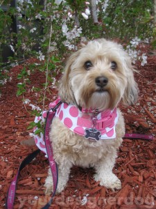 dogs, designer dogs, yorkipoo, yorkie poo, trees, nature, arbor day