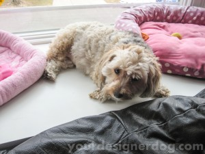 dogs, designer dogs, yorkipoo, yorkie poo, dog beds, understanding dogs
