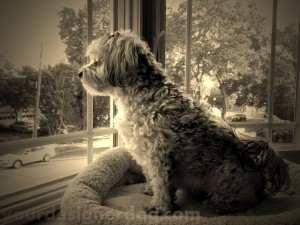 dogs, designer dogs, yorkipoo, yorkie poo, sepia photography, doggy in the window