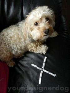dogs, designer dogs, yorkipoo, yorkie poo, gum, xylitol