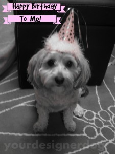 dogs, designer dogs, yorkipoo,,yorkie poo, birthday, dog birthday, dog birthday hat, black and white photography