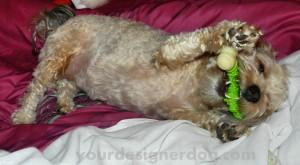 dogs, designer dogs, yorkipoo, yorkie poo, dog bone, chew toy