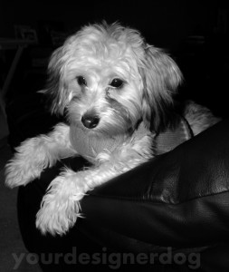 dogs, designer dogs, yorkipoo, yorkie poo, black and white photography