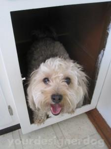 dogs, designer dogs, yorkipoo, yorkie poo, mischief, kitchen cabinet