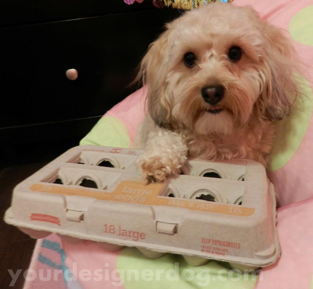 dogs, designer dogs, yorkipoo, yorkie poo, eggs, egg carton