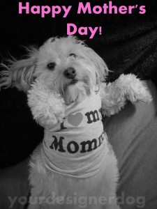 dogs, designer dogs, yorkipop, yorkie poo, black and white photography, mother's day