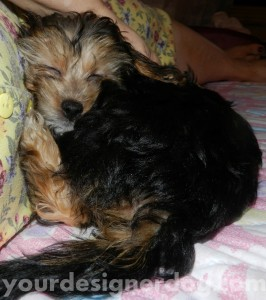 dogs, designer dogs, yorkipoo, yorkie poo, puppy, sleepy puppy, cute puppy pictures