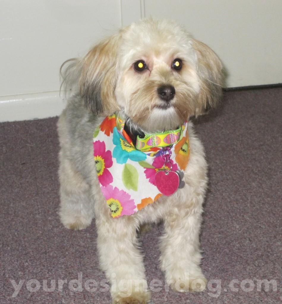dogs, designer dogs, yorkipoo, yorkie poo, groomed, bandana