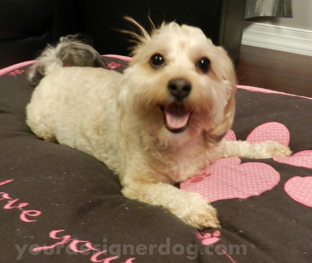 dogs, designer dogs, yorkipoo, yorkie poo, dog smiling