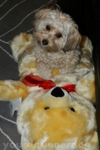 dogs, designer dogs, yorkipoo, yorkie poo, teddy bear, mischief