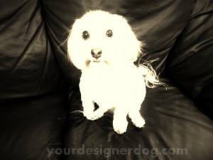 dogs, designer dogs, yorkipoo, yorkie poo, sepia photography, ghost