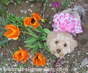 dogs, designer dogs, yorkipoo, yorkie poo, tulips, bird's eye view