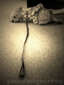 dogs, designer dogs, yorkipoo, yorkie poo, sepia photography, dogs waiting for thier masters, dogs at work