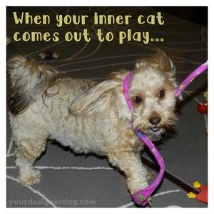 dogs, designer dogs, yorkipoo, yorkie poo, cat teaser