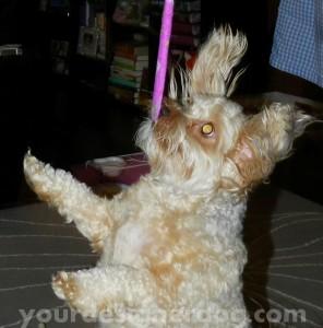 dogs, designer dogs, yorkipoo, yorkie poo, cat, cat teaser