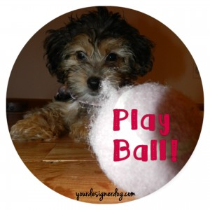 dogs, designer dogs, yorkipoo, yorkie poo, tennis ball, cute puppy picture