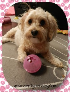 dogs, designer dogs, yorkipoo, yorkie poo, picky eater, midnight snack, treat dispensing toy
