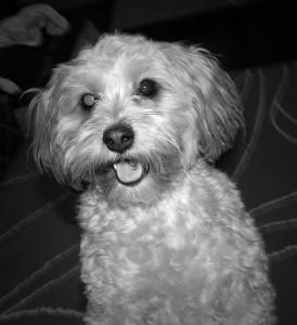 dogs, designer dogs, yorkipoo, yorkie poo, dog smiling, happy