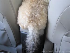 dogs, designer dogs, yorkipoo, yorkie poo, car seat